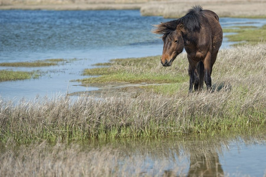 Assateague Horse Wild Pony