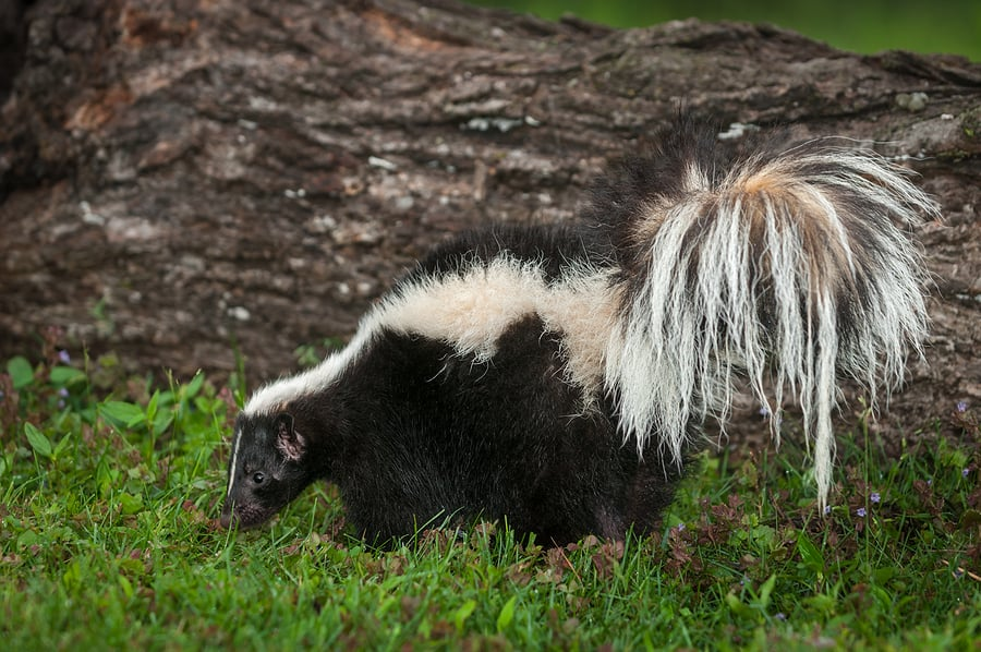 Skunk Troubles